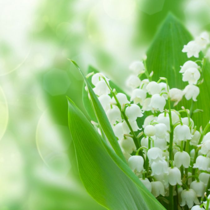 COVID Lilly of the Valley flowers.jpg